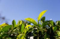 """安化黑茶""""联手""""云南普洱 跨区域打造乡村振兴新模式"""